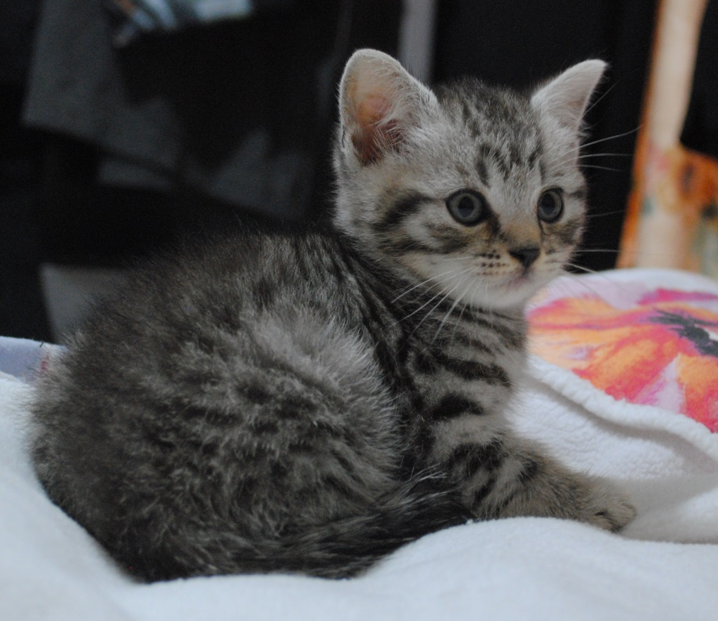 Silver spotted British Shorthair kittens